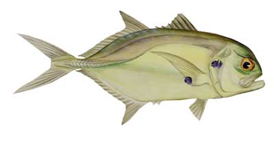 Manuel z on jackfish crevalle jack for What is a jack fish